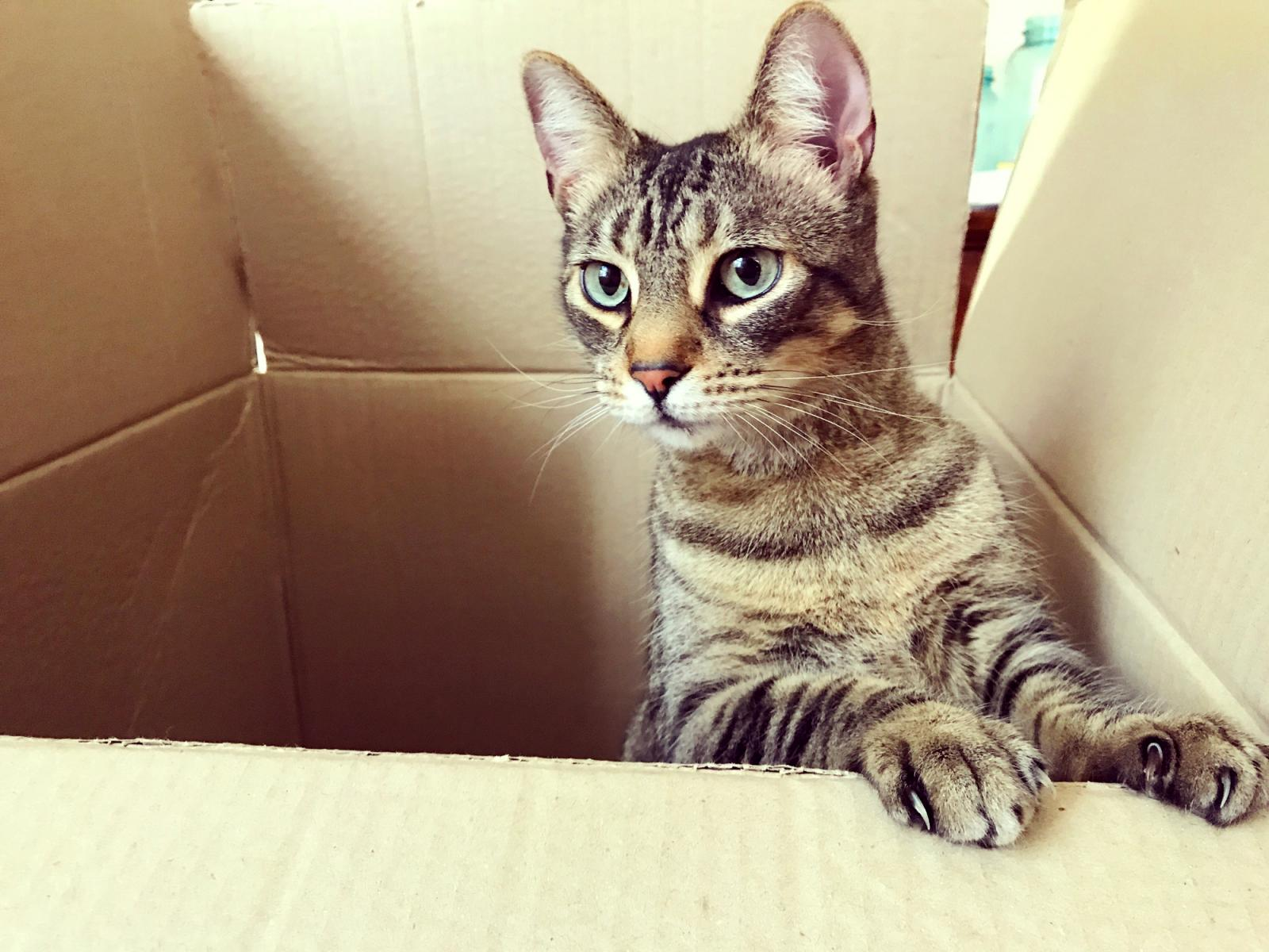 Cat Standing in a Box