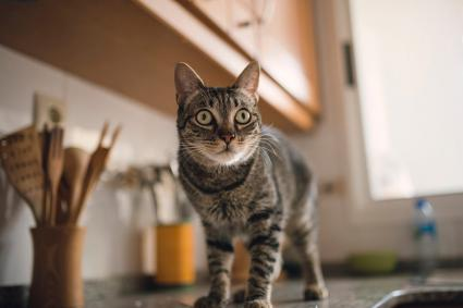 Understand Why Your Cat Is on the Counter