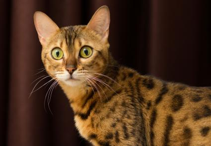 Bengal cat with green eyes