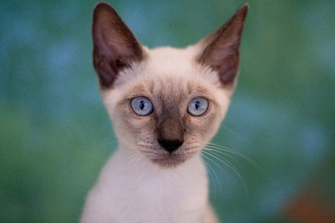 Close-up of Siamese kitten face