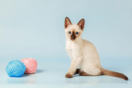 Siamese kitten with yarn balls