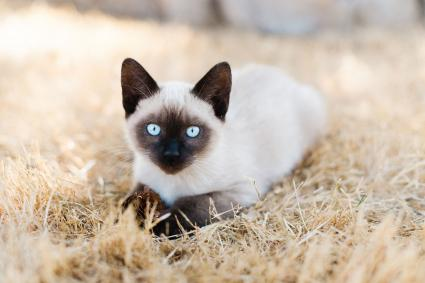 Siamese cat layingin the grass