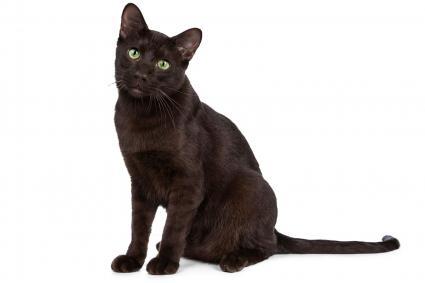 Adult Havana Brown Cat