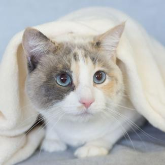 Blue Eyed Dilute Calico Cat