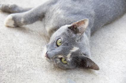 Thai cat roan color
