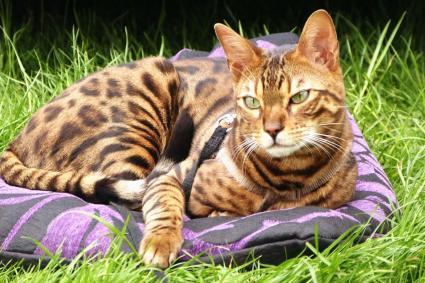 Bengal cat resting on grass