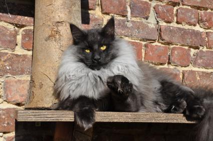 Black smoke colored cat watching