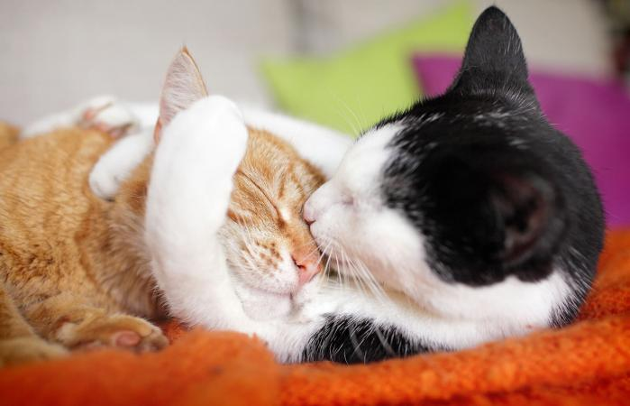Cat couple kissing
