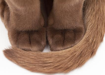Burmese cat's paws with tail wrapped around the front