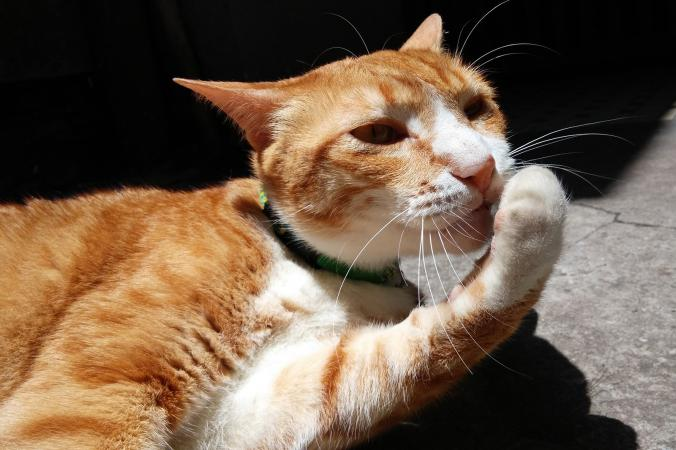 Close-up of ginger cat licking paw