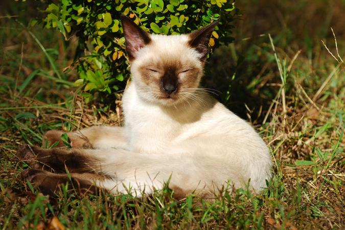 Siamese cat laying in the grass