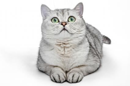 Grey British Shorthair cat looking up