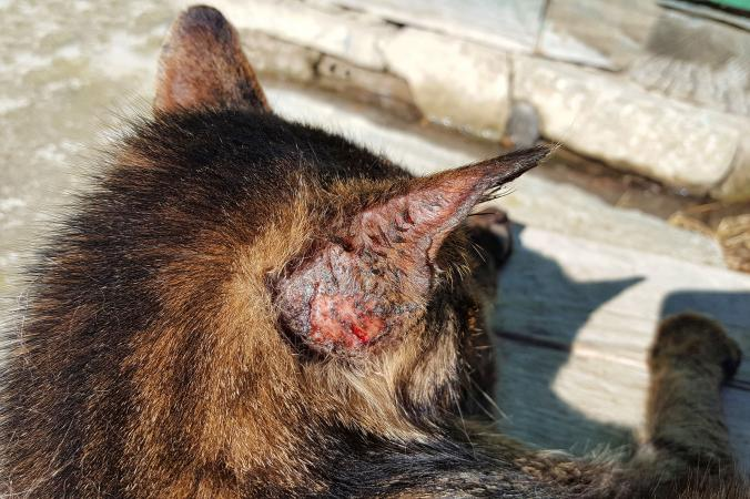 Cat with feline sporotrichosis fungal infection