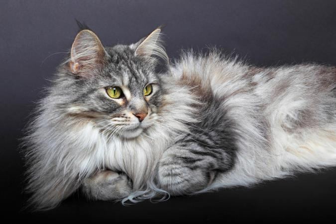 Long haired Maine Coon Cat