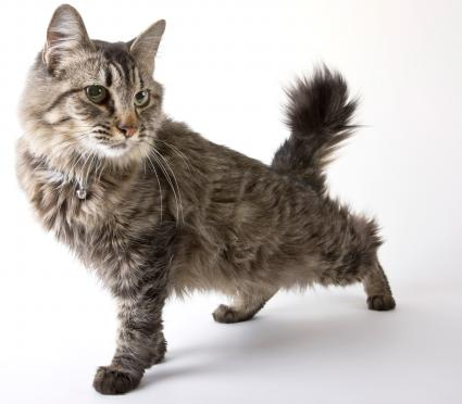 American Bobtail cat stretching