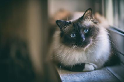 Birman cat lying down near window