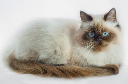 Seal Point Himalayan Cat Portrait
