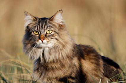 Norwegian Forest cat in the grass