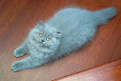 Blue Persian cat resting on floor