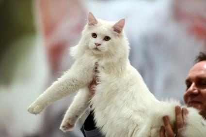 White Ragamuffin cat held by jury member