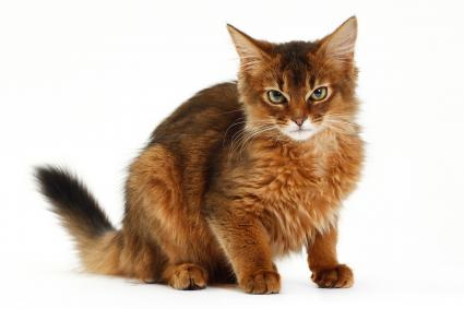 Somali cat sitting for portrait