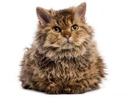 Front view of Selkirk Rex cat