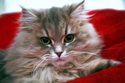 Closeup portrait of Siberian kitten