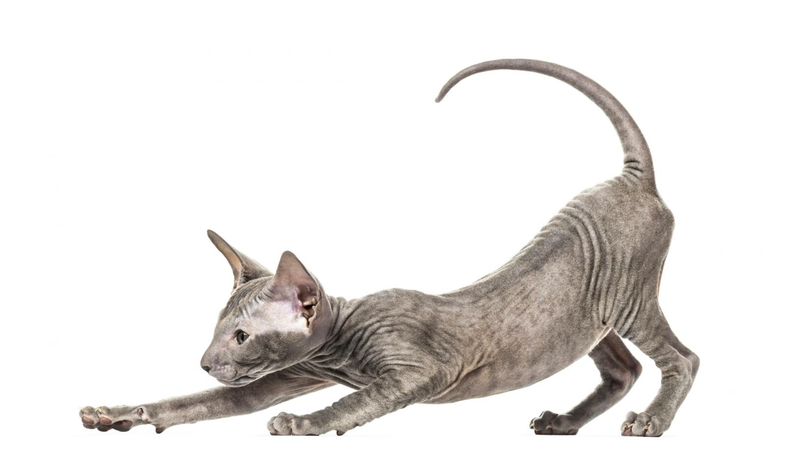 Peterbald kitten stretching in a funny position
