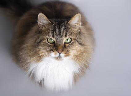Siberian cat looking up