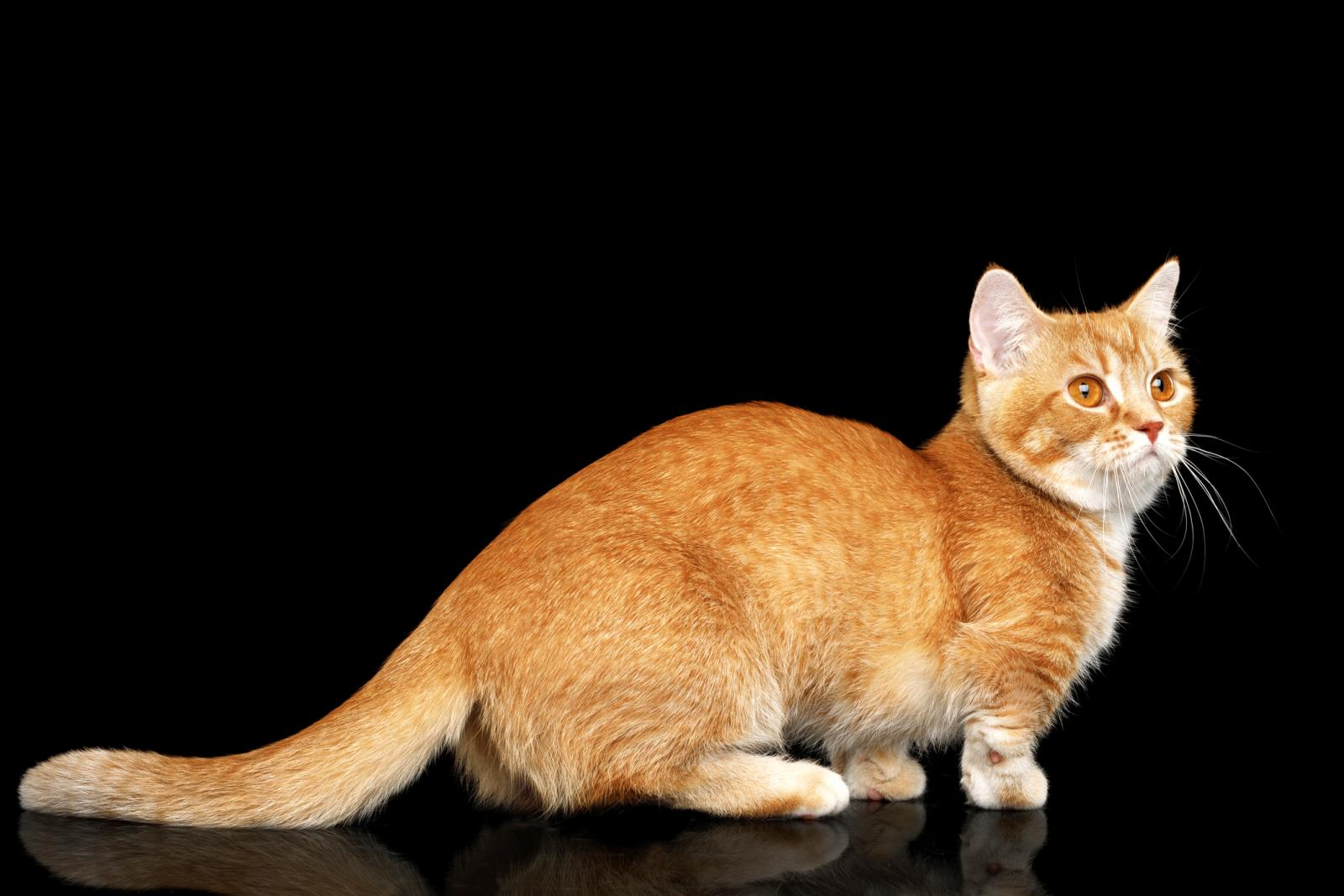 Ginger munchkin cat
