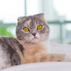 Scottish fold cat on bed looking at camera