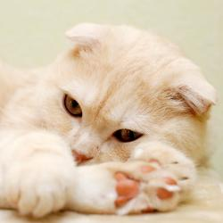 Scottish Fold Adult