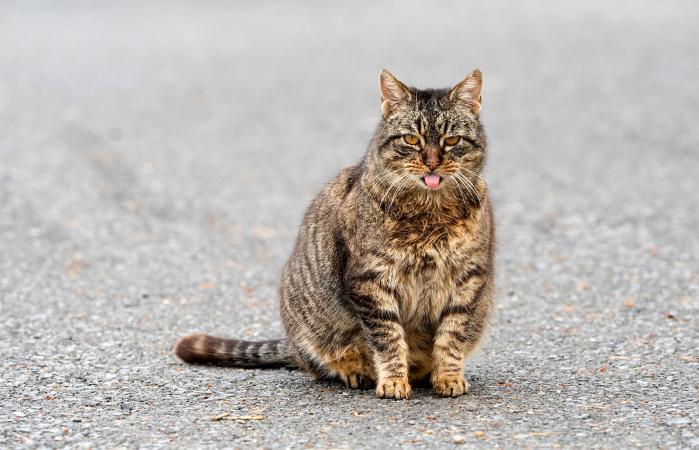 Pregnant tabby cat
