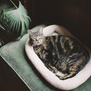 Pregnant cat laying in bed