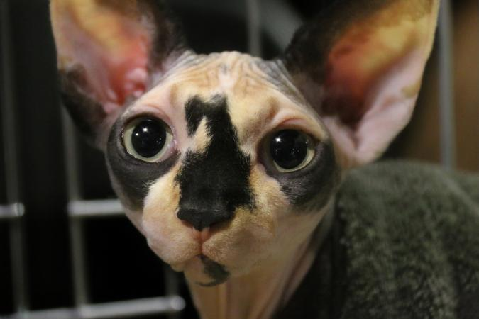 Closeup of hairless cat eyes