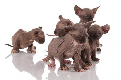 group of hairless elf cat kittens