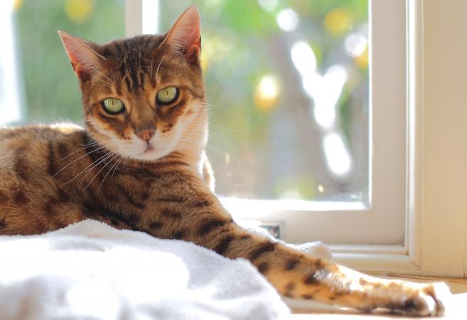 bengal cat sitting in window