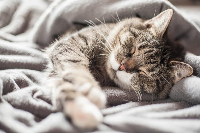 Senior cat asleep in blankets