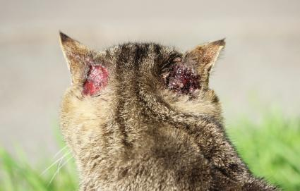A cat with signs of otoacariasis mites