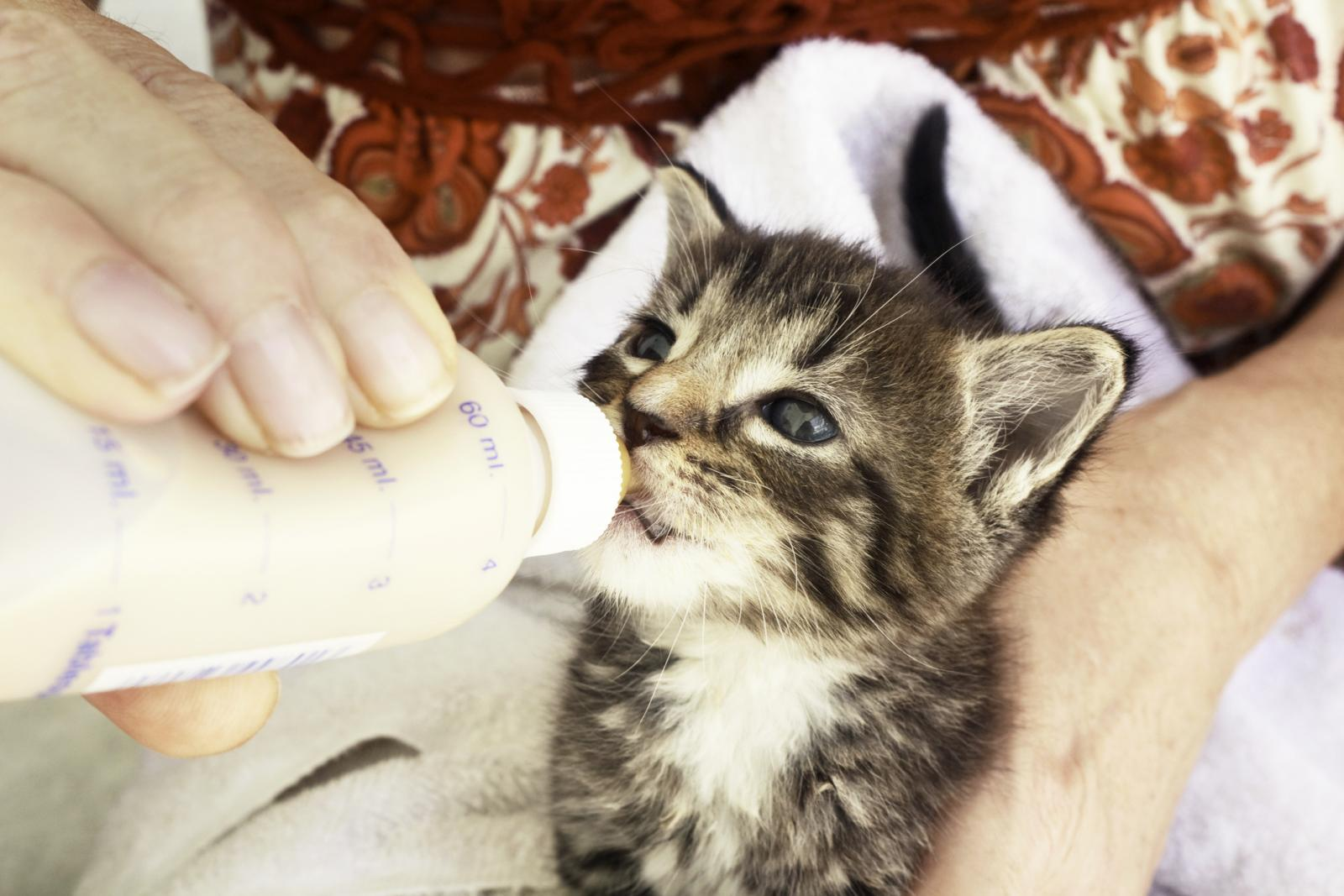 Important Tips For Feeding Newborn Kittens Lovetoknow