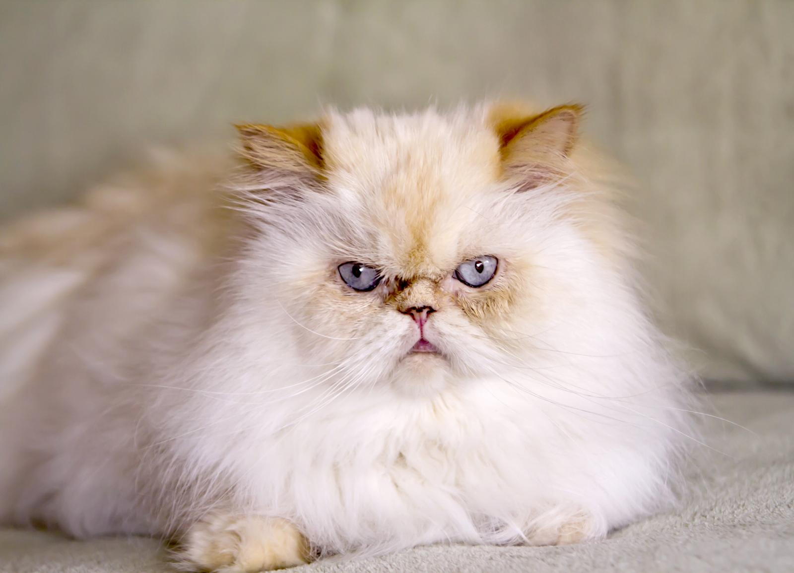 Flame Point Himalayan Kittens and Cats | LoveToKnow