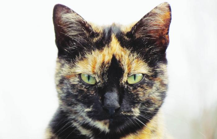 Portrait of calico cat
