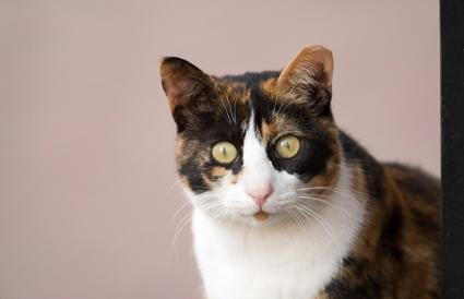 Myths And Facts About Male Calico Cats Lovetoknow
