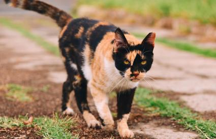 Calico Cat Walking On Field