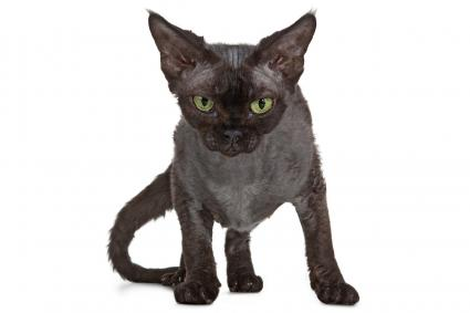 Devon Rex Black Cat