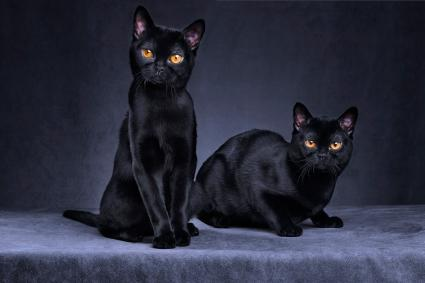 Black Bombay Cats