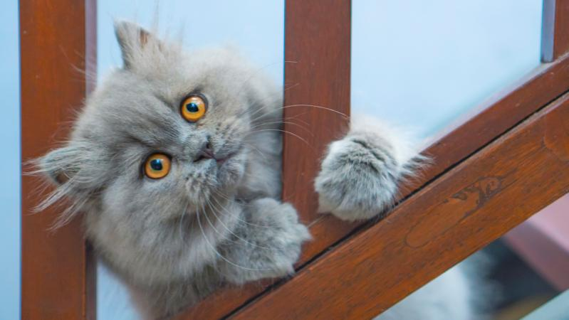 Blue Persian kitten playing