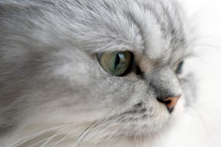 Close up of silver Persian cat