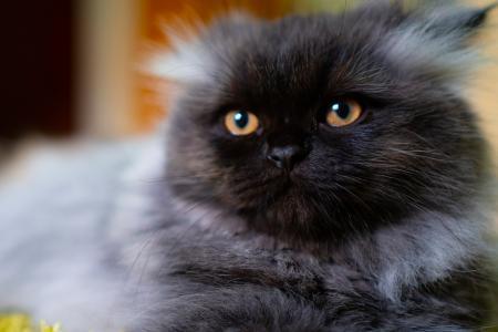 Persian cat in smoke color