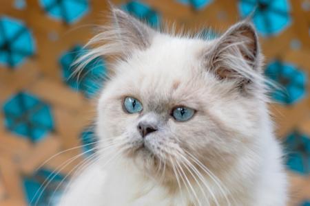 Young Himalayan cat